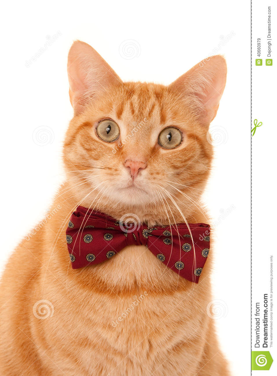 Portrait of a looking ginger cat with a bordeaux bow tie, isolated on ...