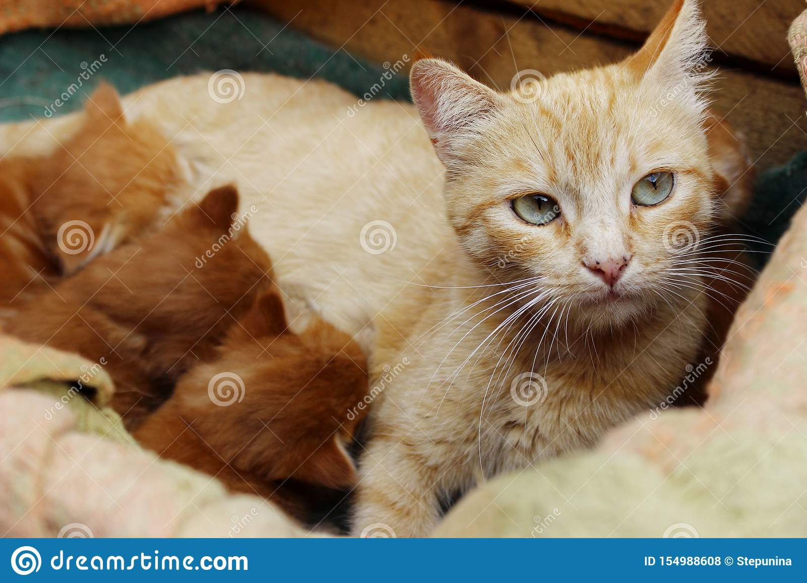Ginger Cat And Cute Kittens Red Tabby Cat And Kittens In Wooden Box Stock Photo Image Of Adoption Kitten 154988608
