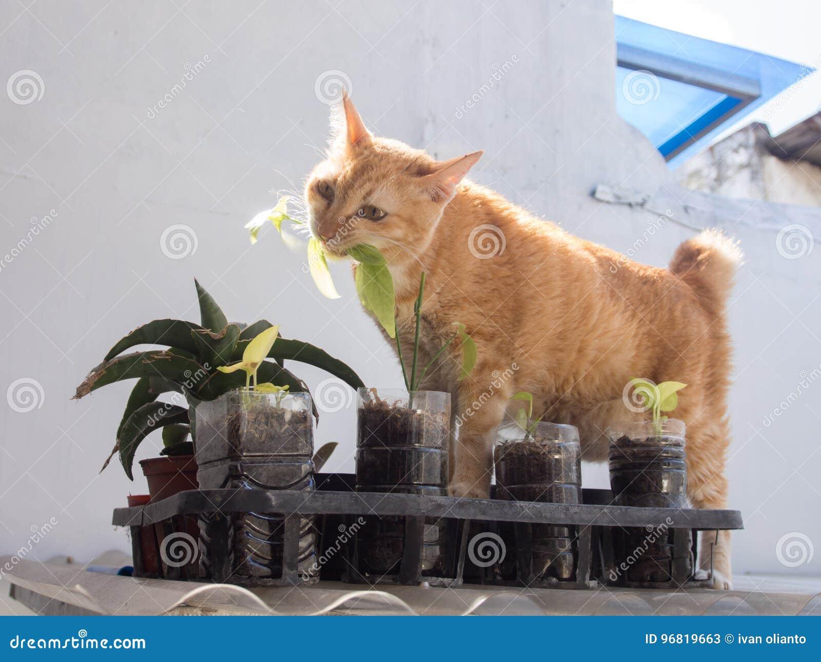Ginger Cat Eating Leaf