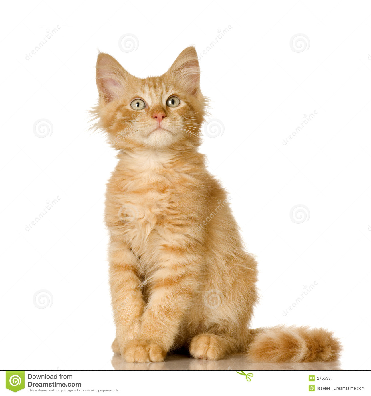Ginger Cat kitten stock image Image of eyes blue feline