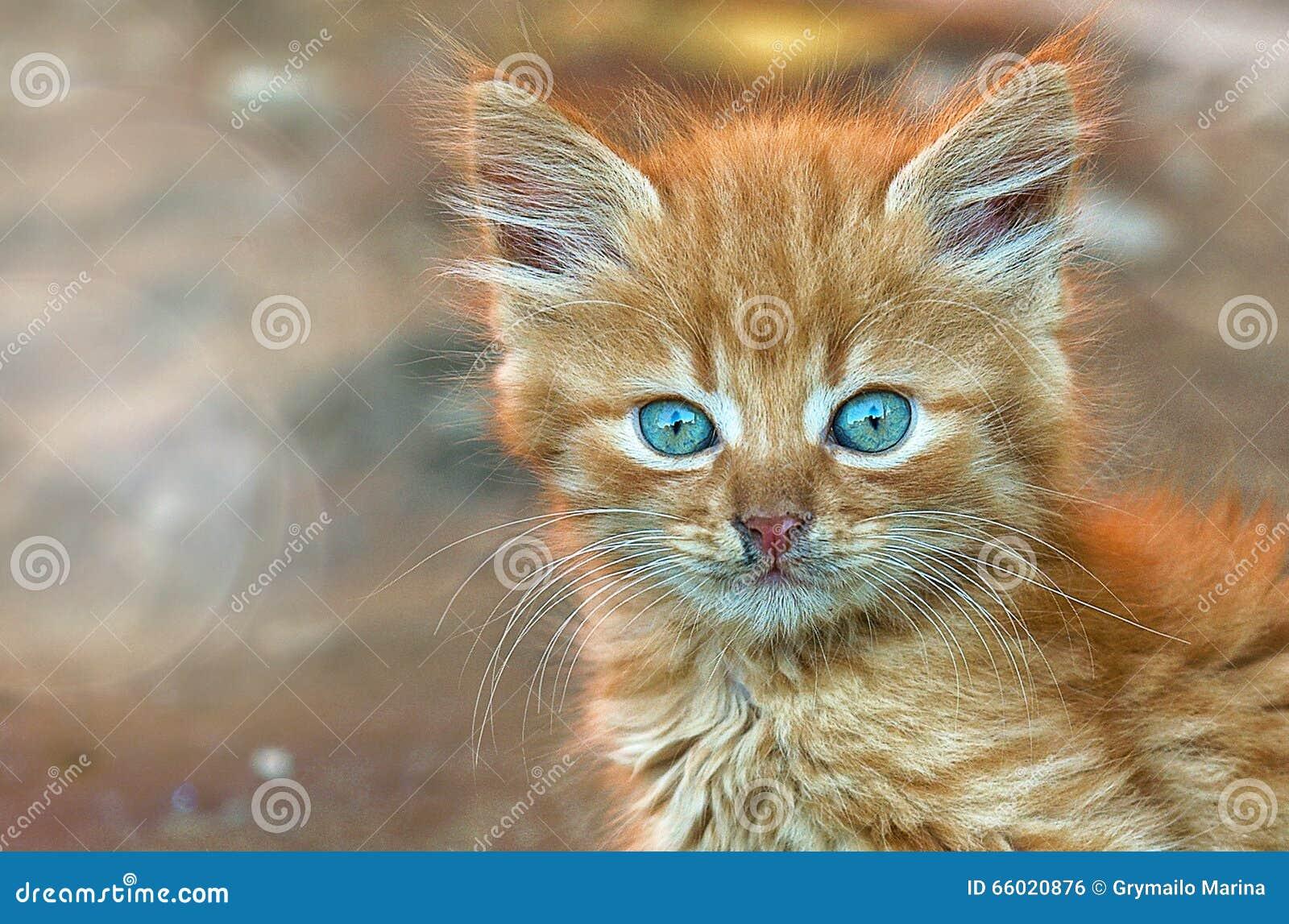 Ginger kitten kitten look little kitty