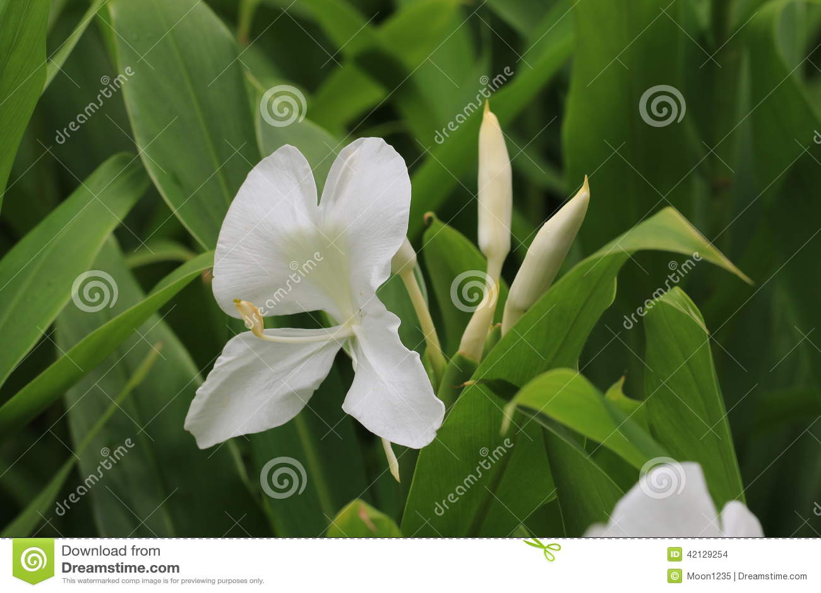 Ginger Lily-Blume und Knospe, Schmetterlings-Ingwer, Schmetterlings-Lilie, Garland Flower