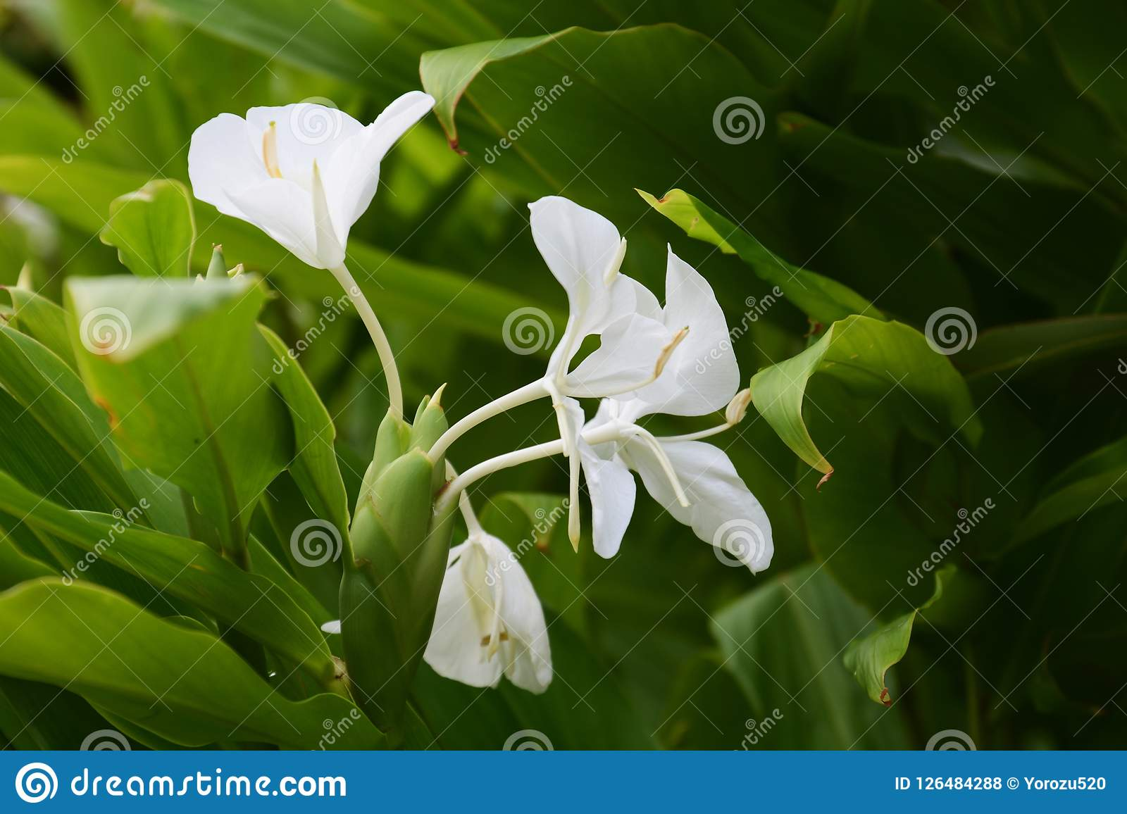 Ginger Lily Stock Photo Image Of Bloom Garland Family 126484288
