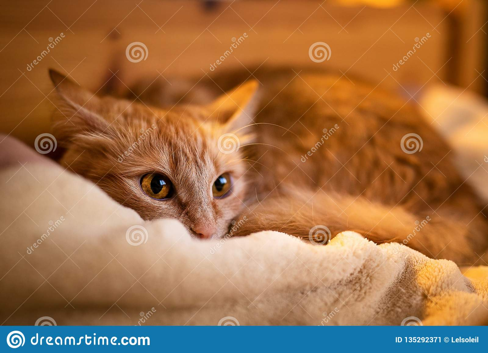 Ginger little cat sleeping at home