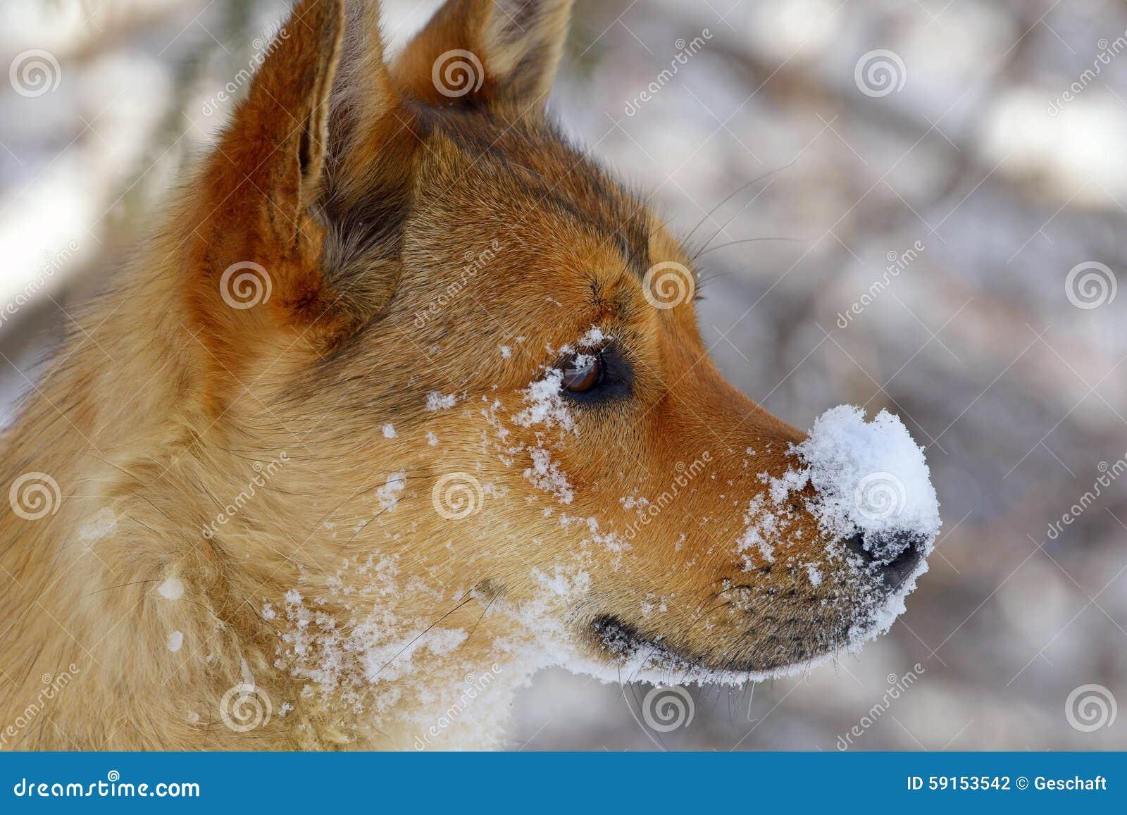 winter nose dog