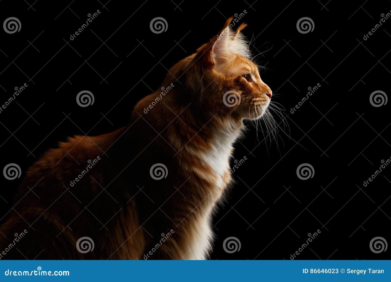 Ginger Maine Coon Cat Isolated auf schwarzem Hintergrund