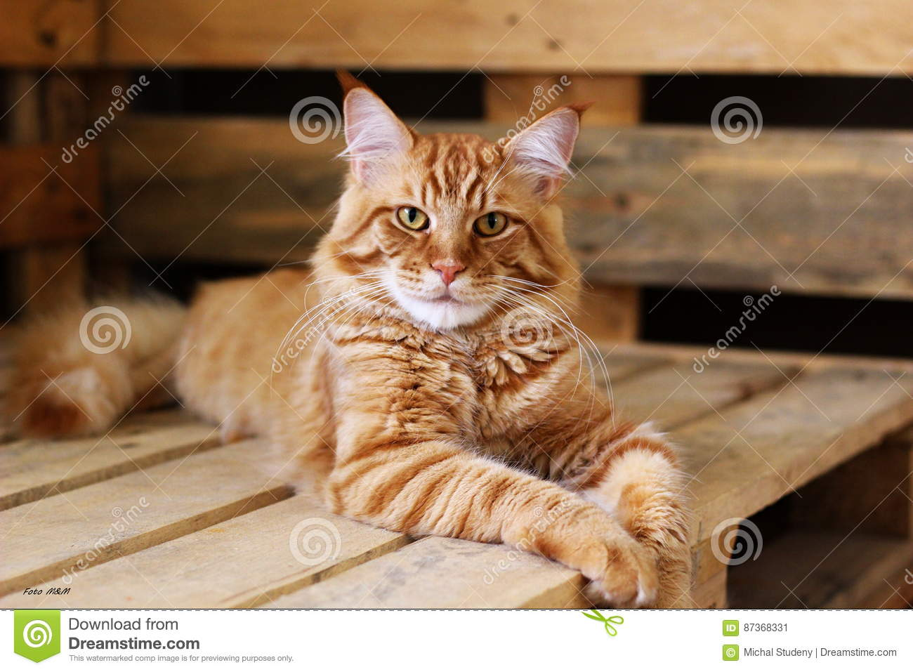 Young Maine Coon Cat , Best Cat Wallpaper