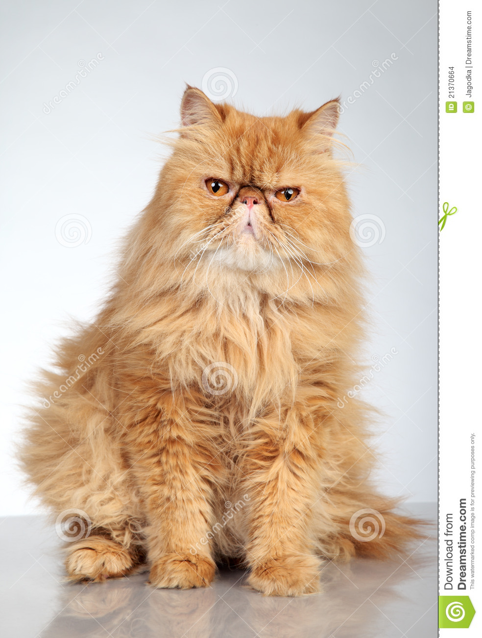 Ginger Persian cat stock photo  Image of orange, angry - 21370664