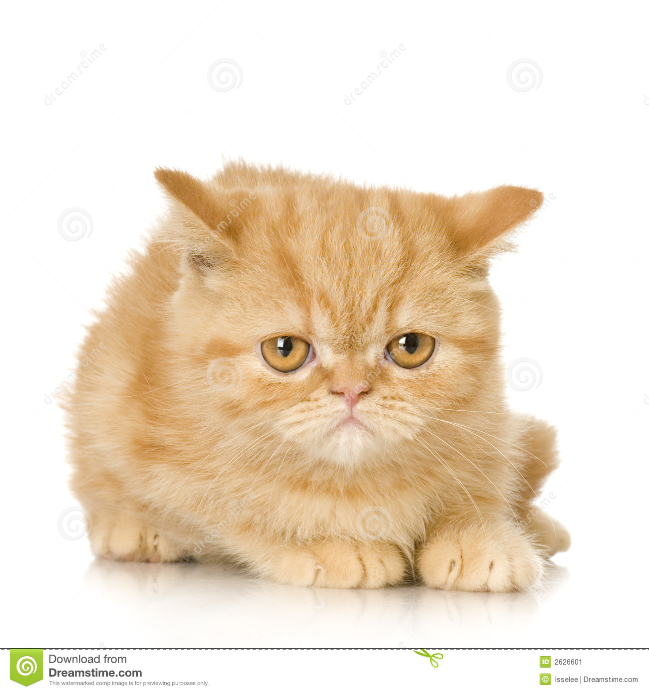 Ginger persian Cat kitten in front of a white background.
