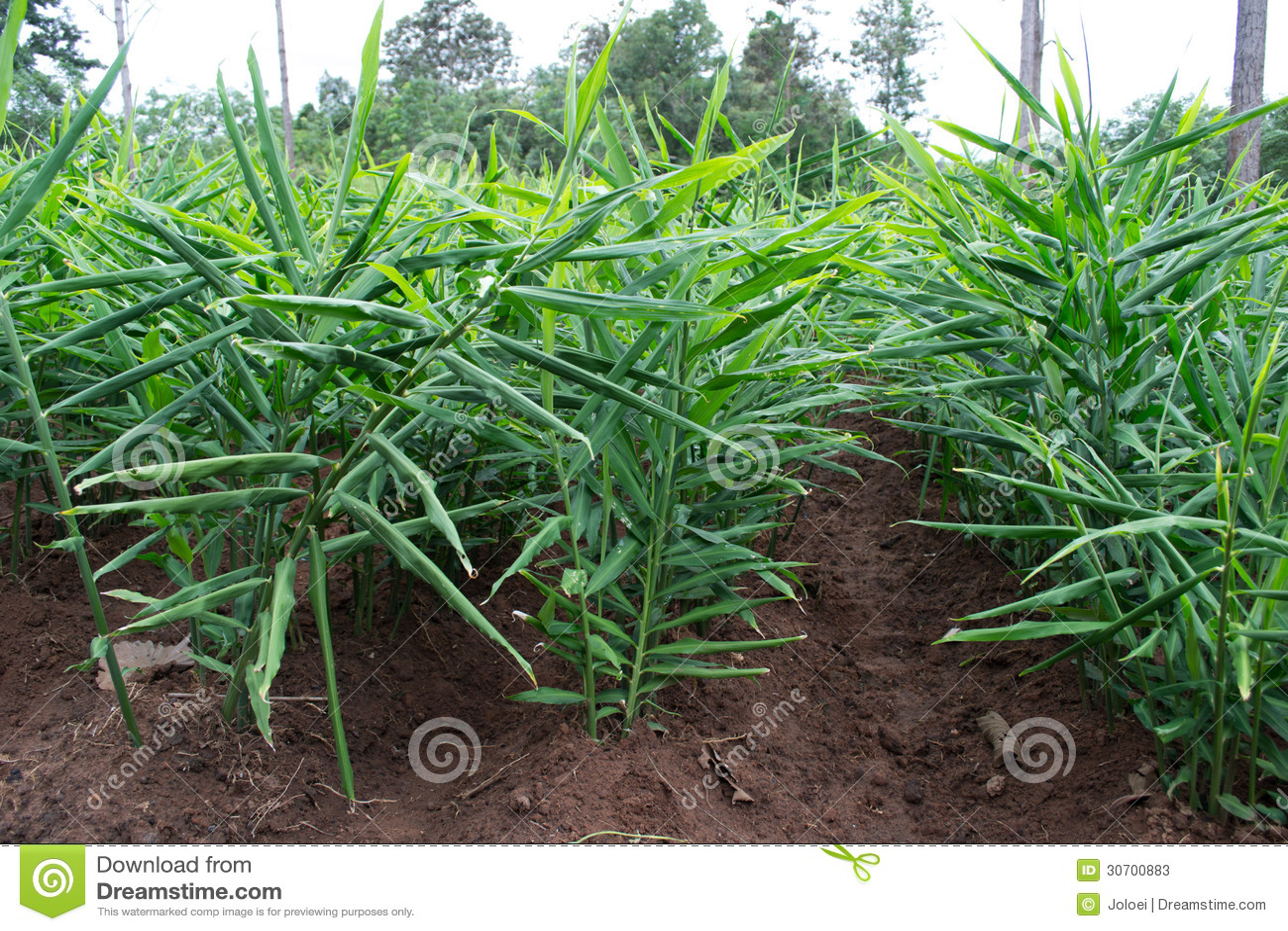ginger plantation stock image image of meadow dirt 30700883. Black Bedroom Furniture Sets. Home Design Ideas