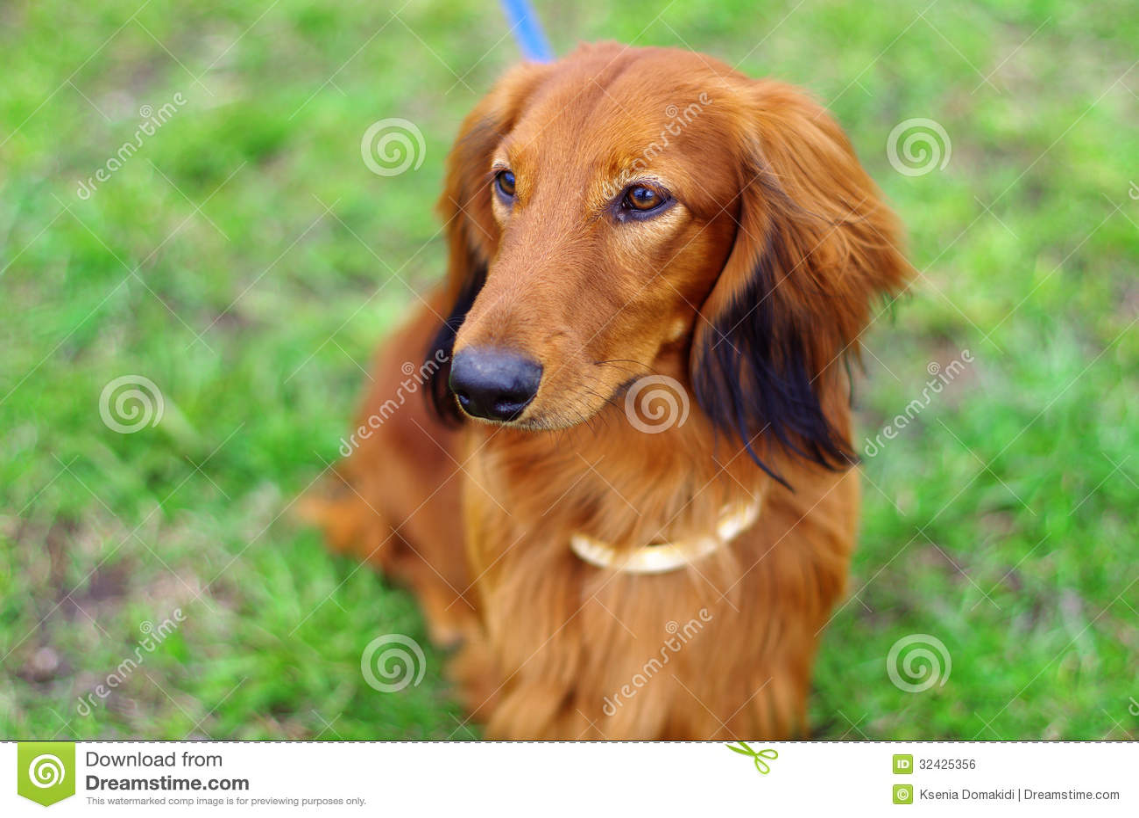 Ginger Red German Badger Dog Royalty Free Stock Image - Image ...