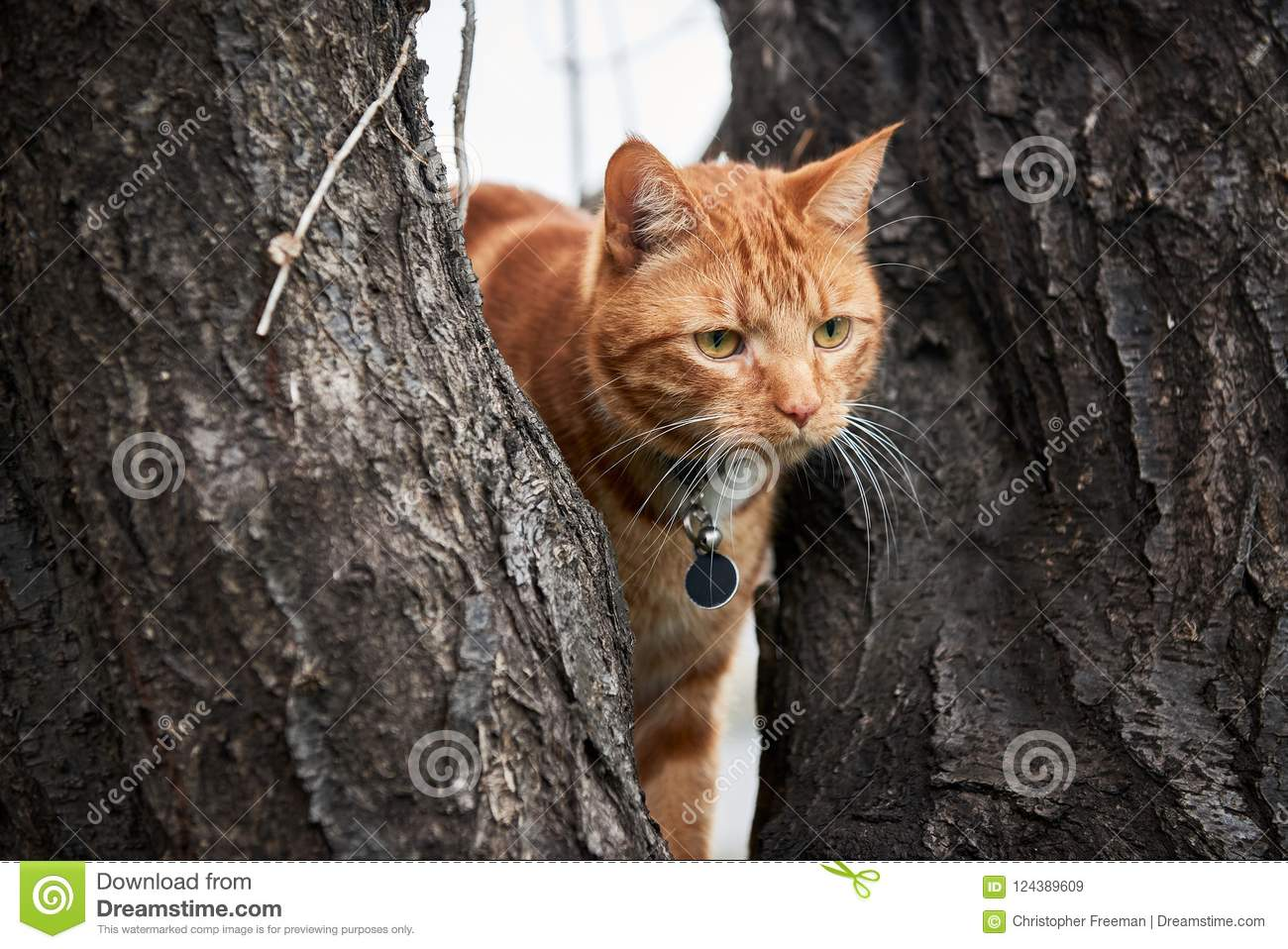 Ginger red tabby cat in a tree with long white whiskers up in a tree.