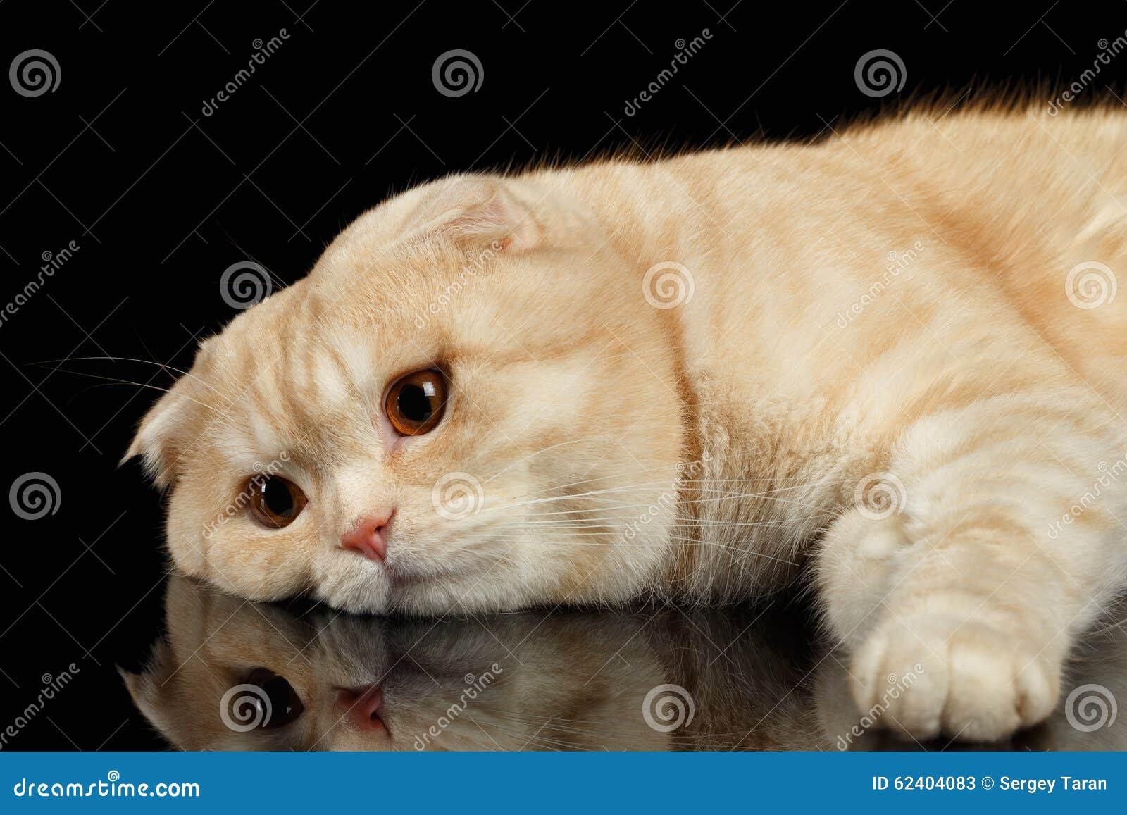 Ginger Scottish Fold Cat Lies isolerade på svart