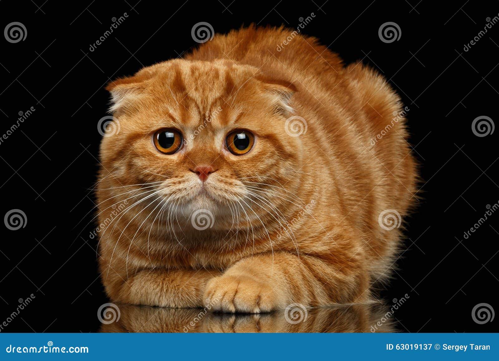 Ginger Scottish Fold Cat Lies på svart