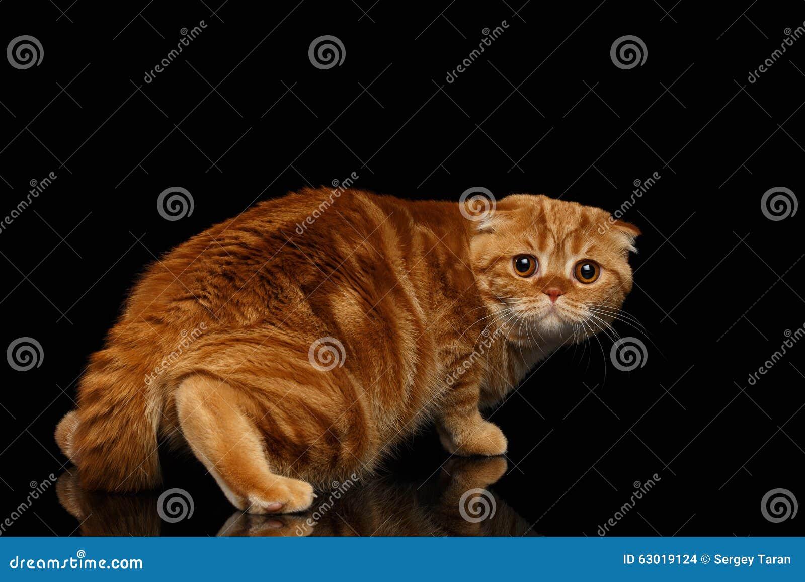 Ginger Scottish Fold Cat Looking asustado detrás aislado en negro