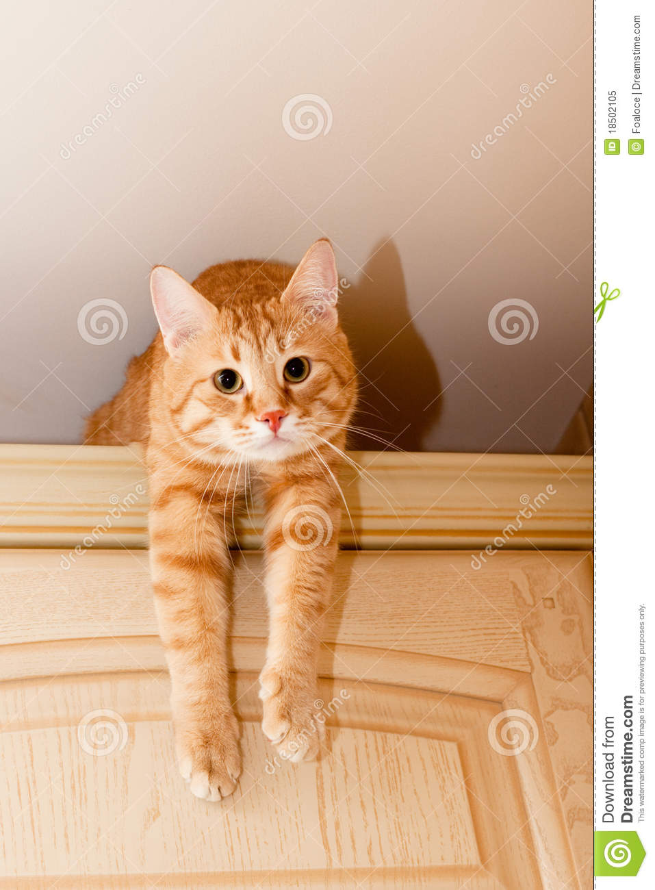 Young ginger tabby cat on kitchen cupboard