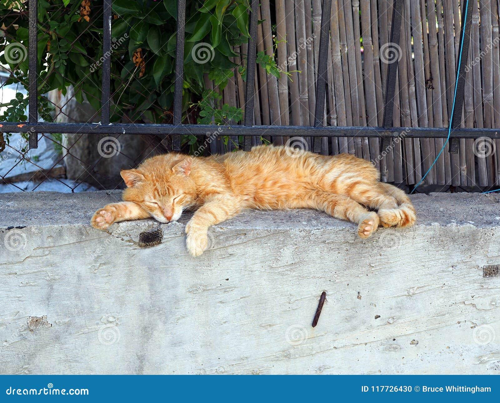 Ginger Tabby Cat Sleeping auténtico en la pared del jardín