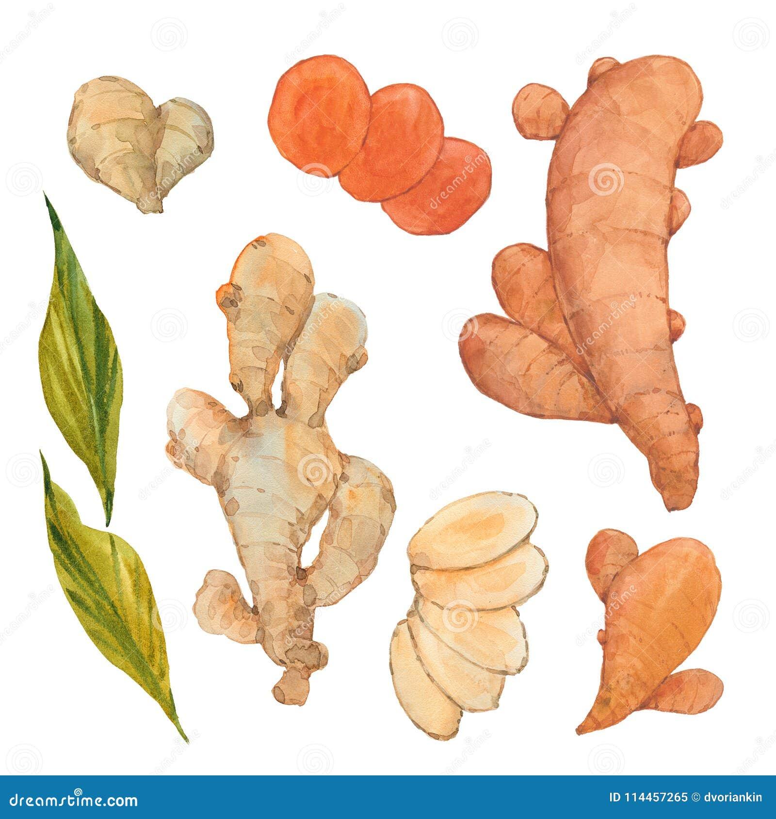 Ginger and turmeric stock illustration  Illustration of