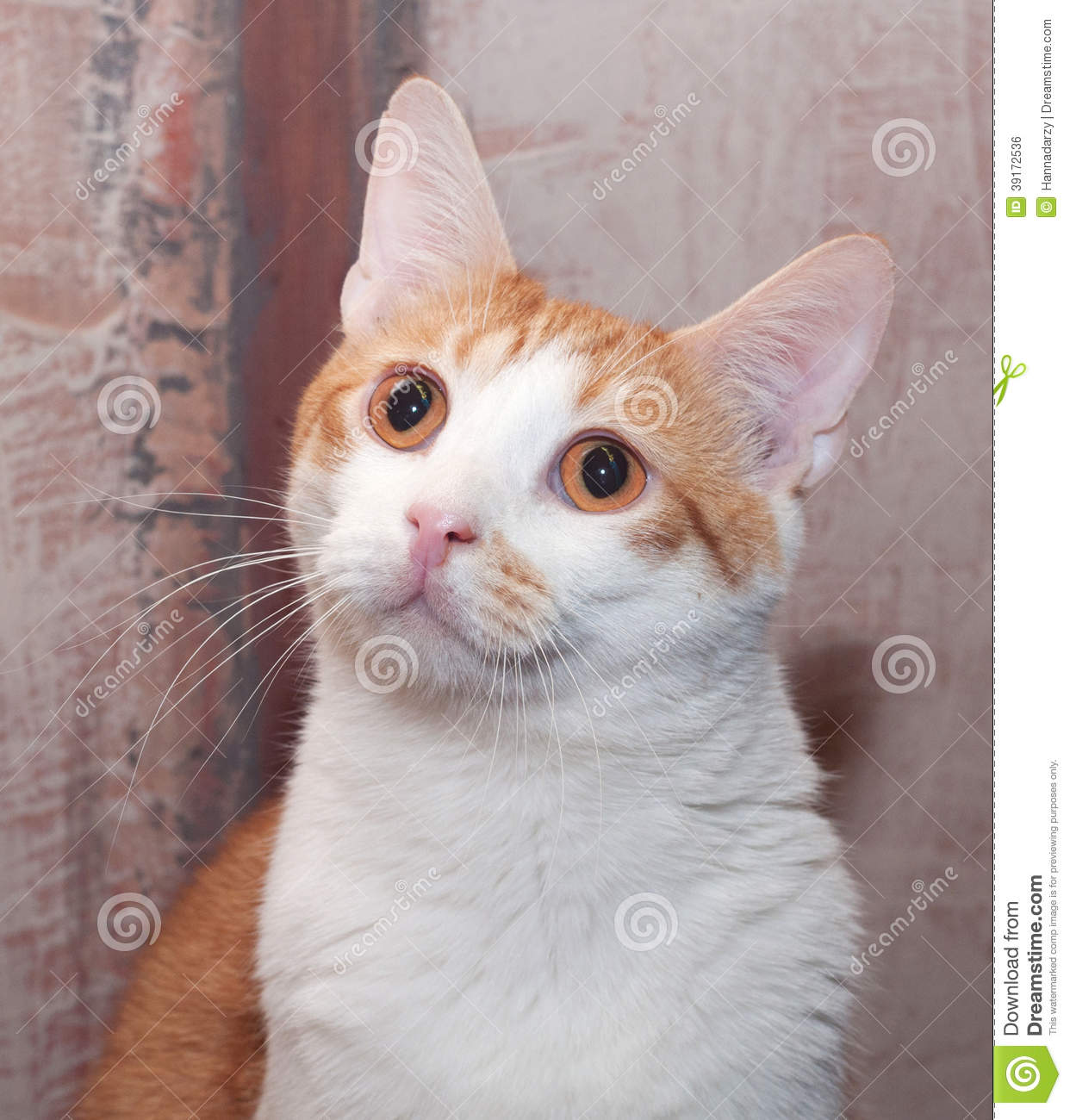 Ginger And White Cat With Orange Eyes Stock Photo - Image ... White Cat With Orange Eyes
