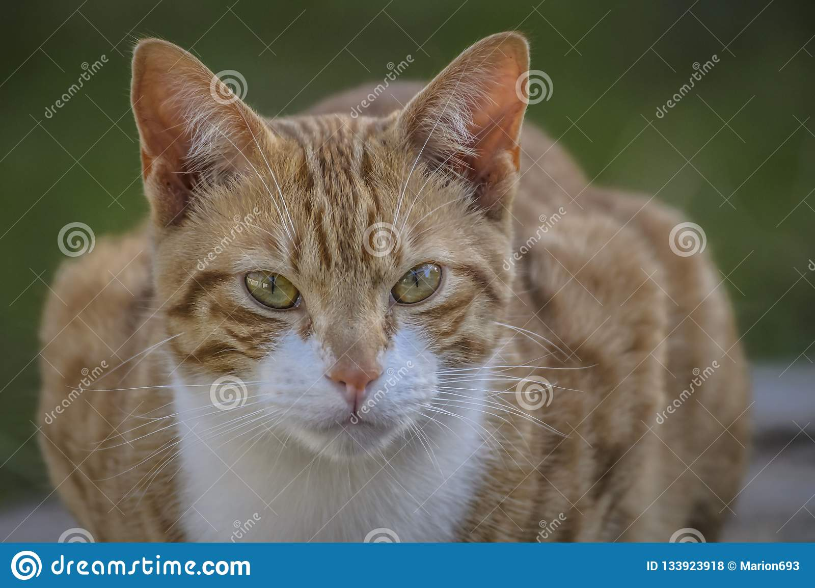 Ginger and white cat, with upright ears and big eyes, staring at camera