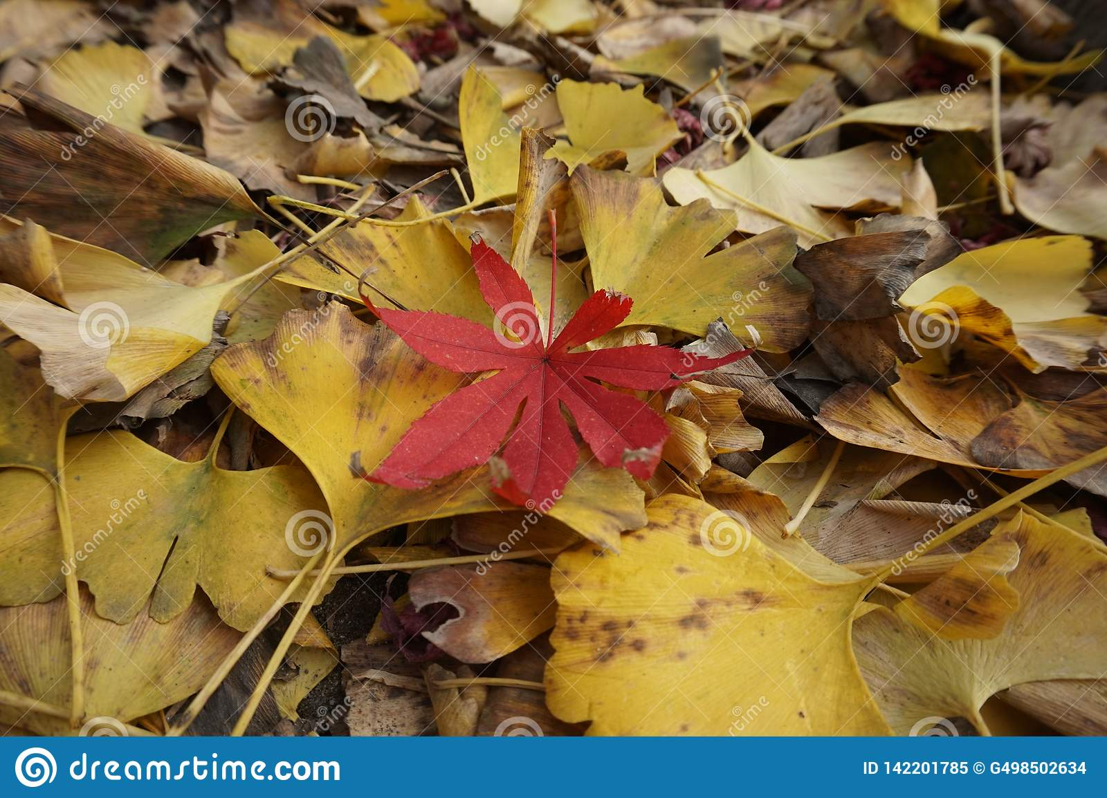 Ginkgo biloba and maple leaves, autumn scenery, withered branches and leaves a little red!