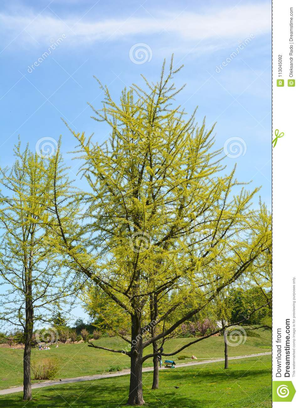 Ginkgo Biloba Tree With Green Leaves In Spring Stock Photo