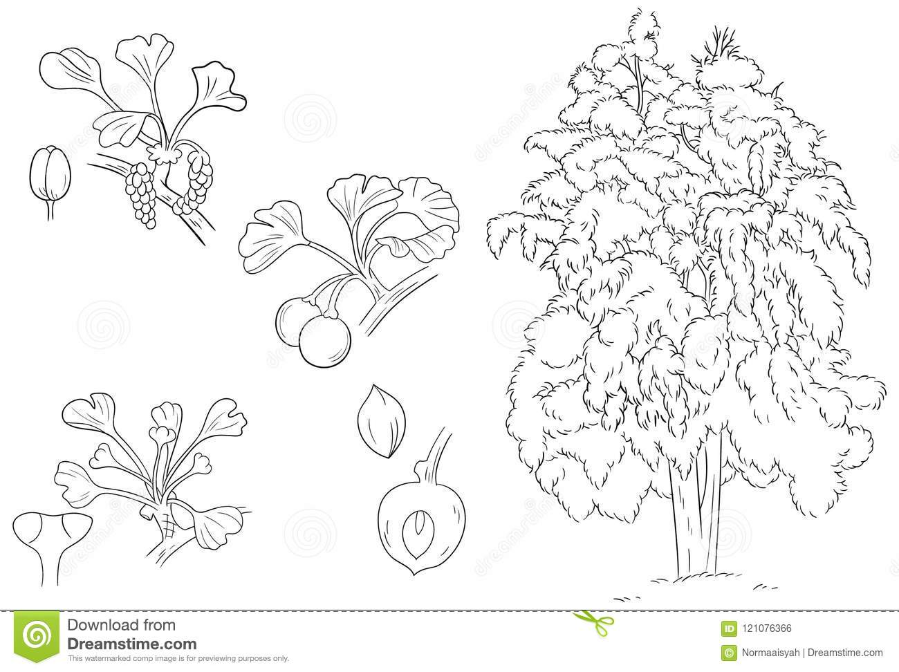 Ginkgo flower fruit leaves and plant outline and sketch