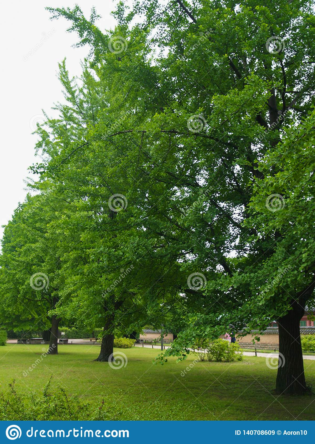 Ginkgobilobaträdet, med härliga gröna sidor, lokaliseras på den gräs- jordningen nära vattenkällan i bygden