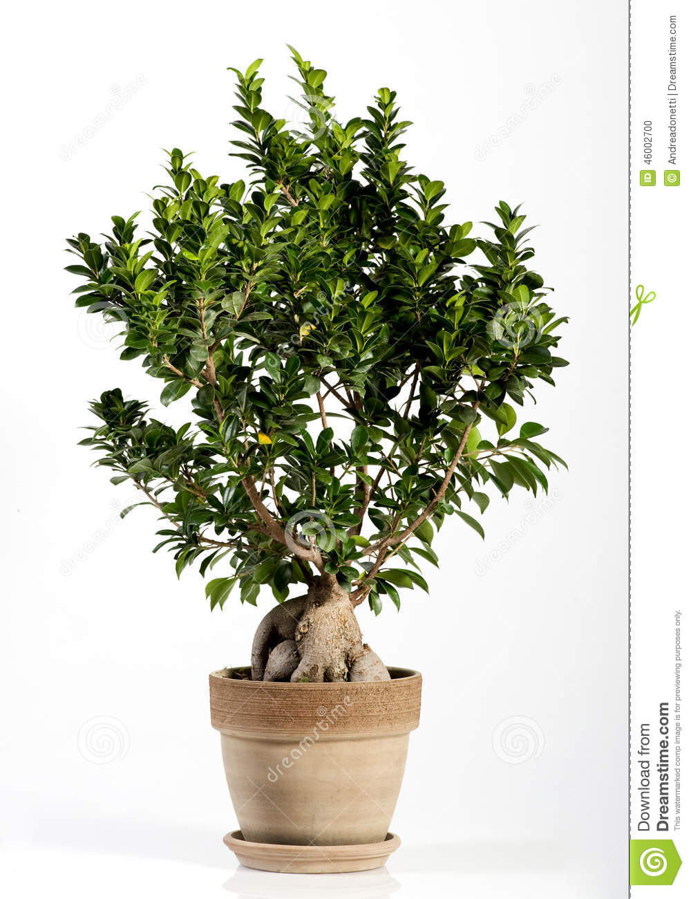 ginseng ficus bonsai tree on brown pot stock photo image of brown short 46002700. Black Bedroom Furniture Sets. Home Design Ideas