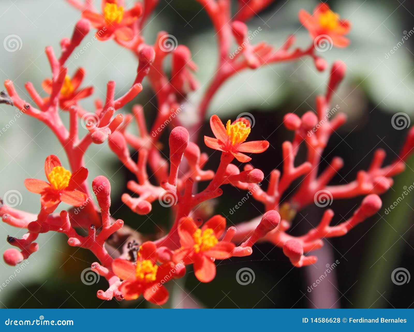 Ginseng Flowers