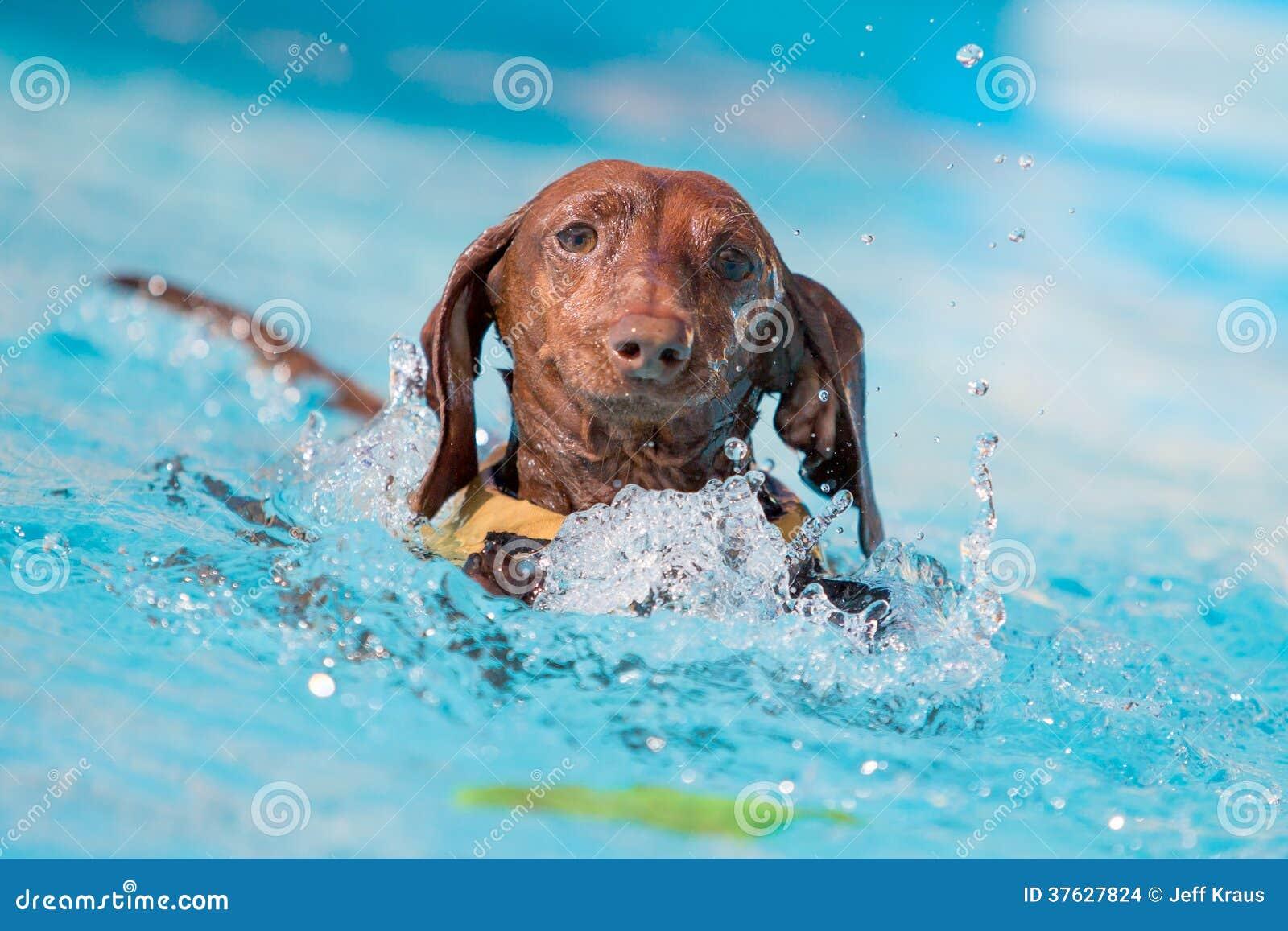 Giocattolo afferrante del cane del bassotto tedesco nell acqua
