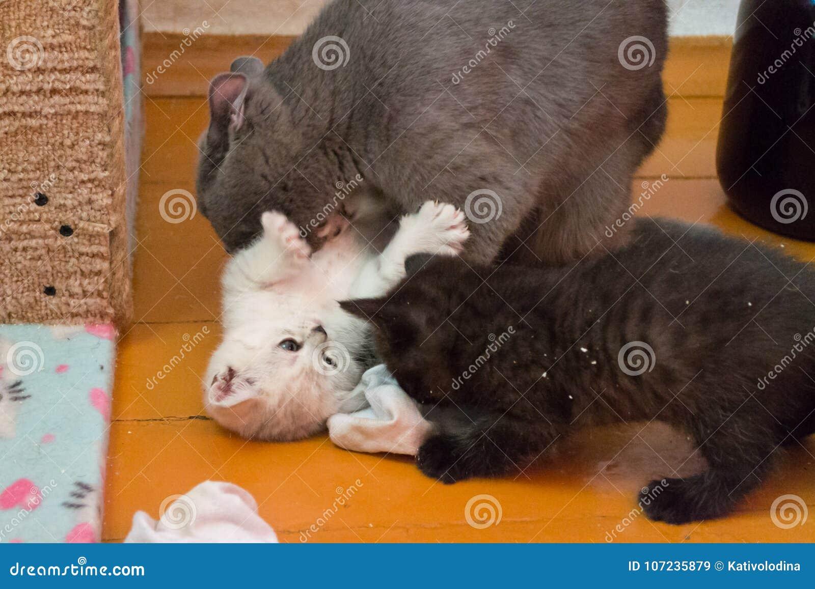 Giochi Britannici Del Gatto Di Mamma Con I Suoi Gattini Immagine