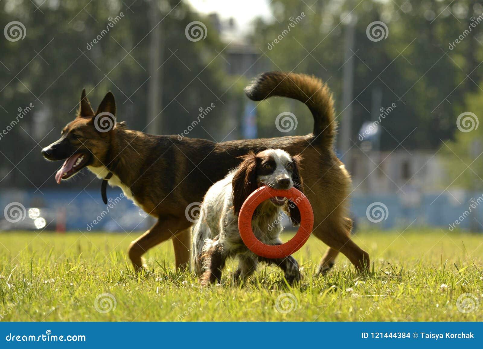 Gioco dei cani a vicenda Cuccioli allegri di confusione Giovane istruzione del cane, cynology, addestramento intensivo dei cani