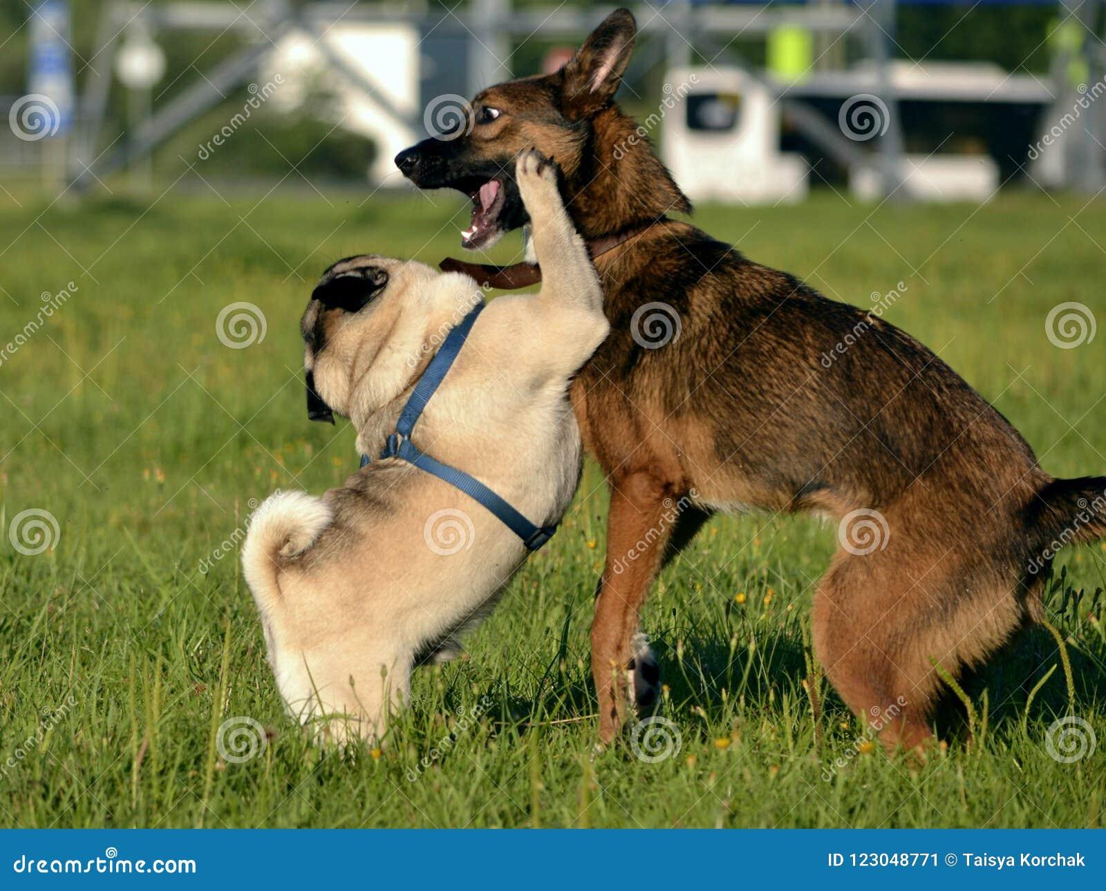 Gioco dei cani a vicenda Giovane carlino-cane Cuccioli allegri di confusione Cane aggressivo Addestramento dei cani Istruzione de