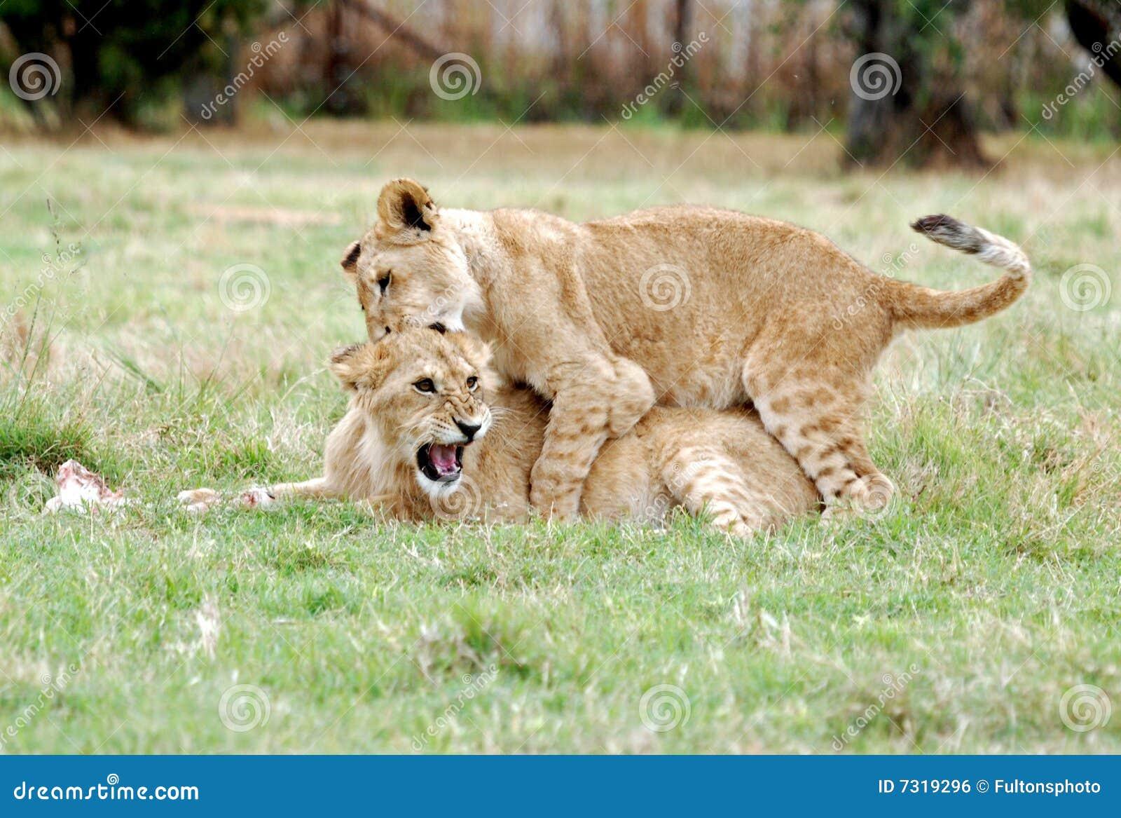 Gioco del Cubs di leone