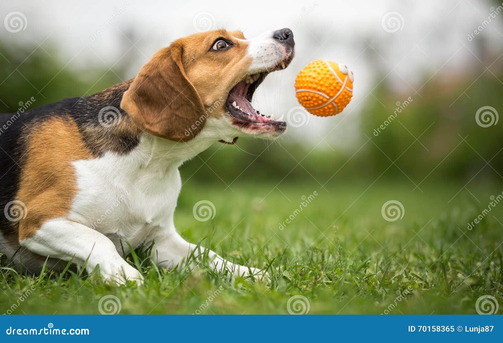 Gioco dell ampiezza con il cane agile
