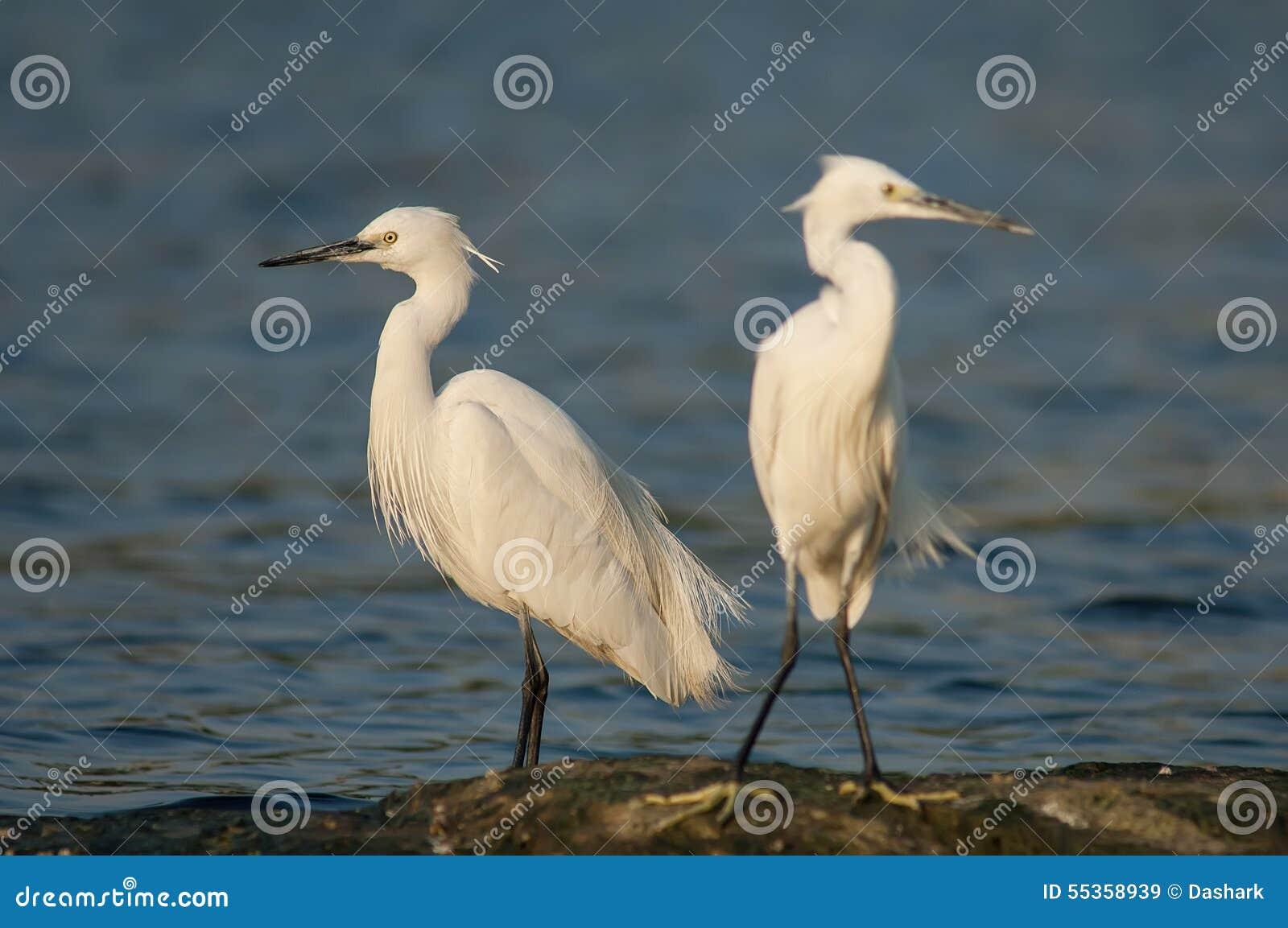 Gioco delle egrette nel tramonto
