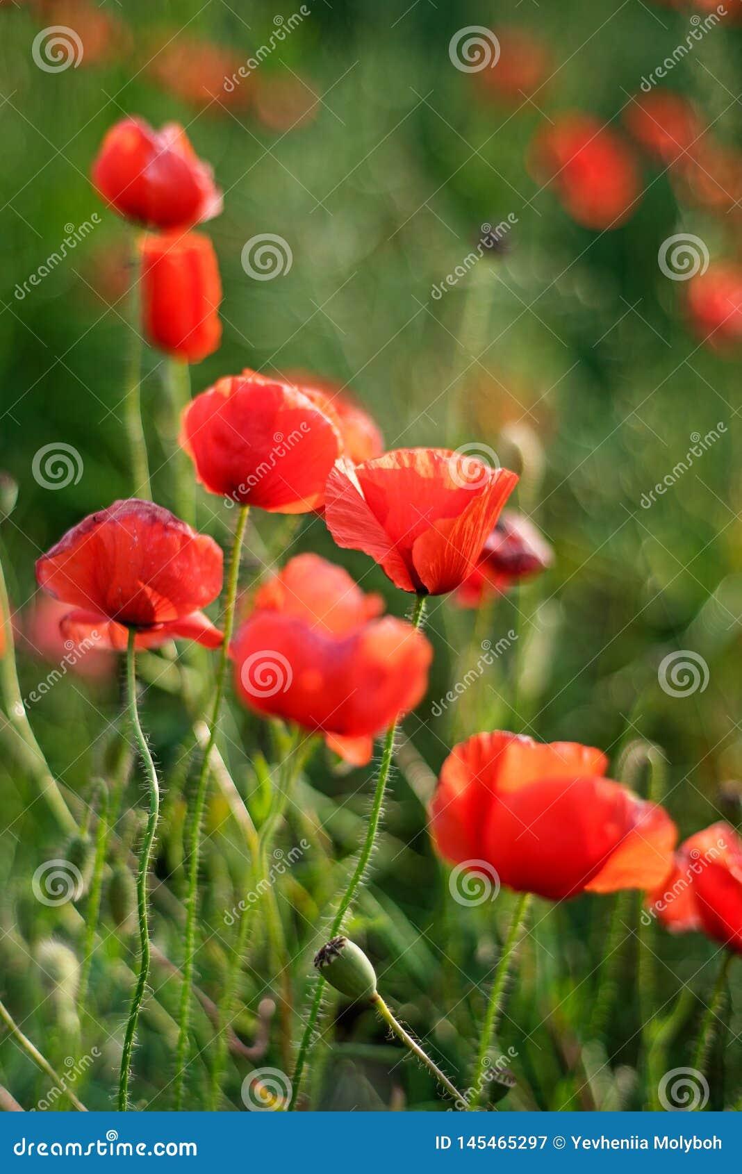 Giornata della memoria, Anzac Day, papavero da oppio di serenit?, pianta botanica, ecologia Giacimento di fiore del papavero, rac