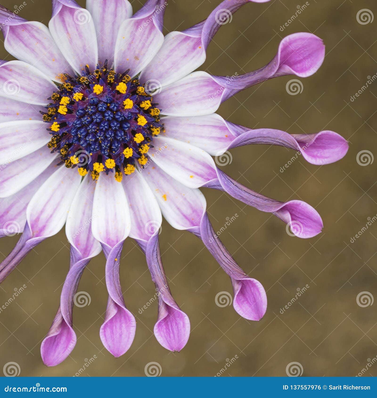 Giostra africana Daisy Flower Macro