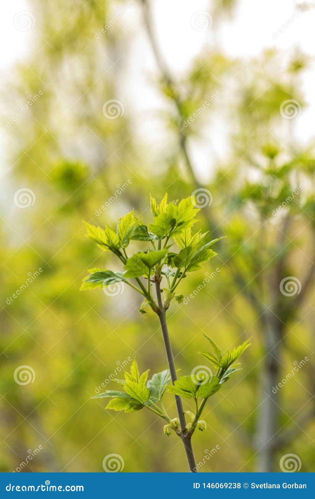 Giovane acer platanoides dei tiri nel giardino della citt?