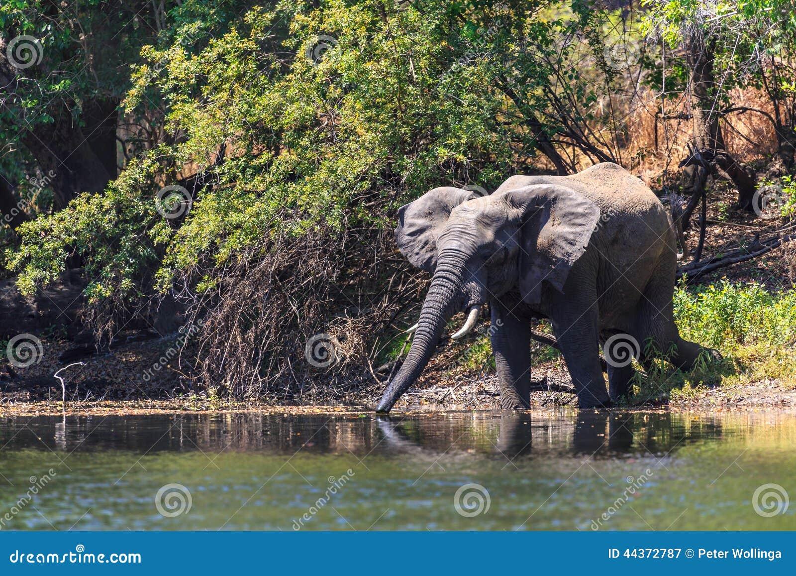 Giovane acqua dell anello a D dell elefante in un fiume