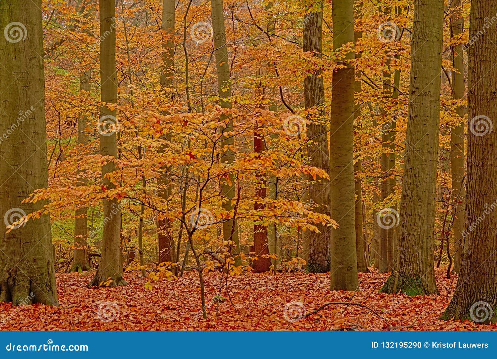 Giovane albero di faggio fra gli alti tronchi in una foresta di autunno nella campagna fiamminga