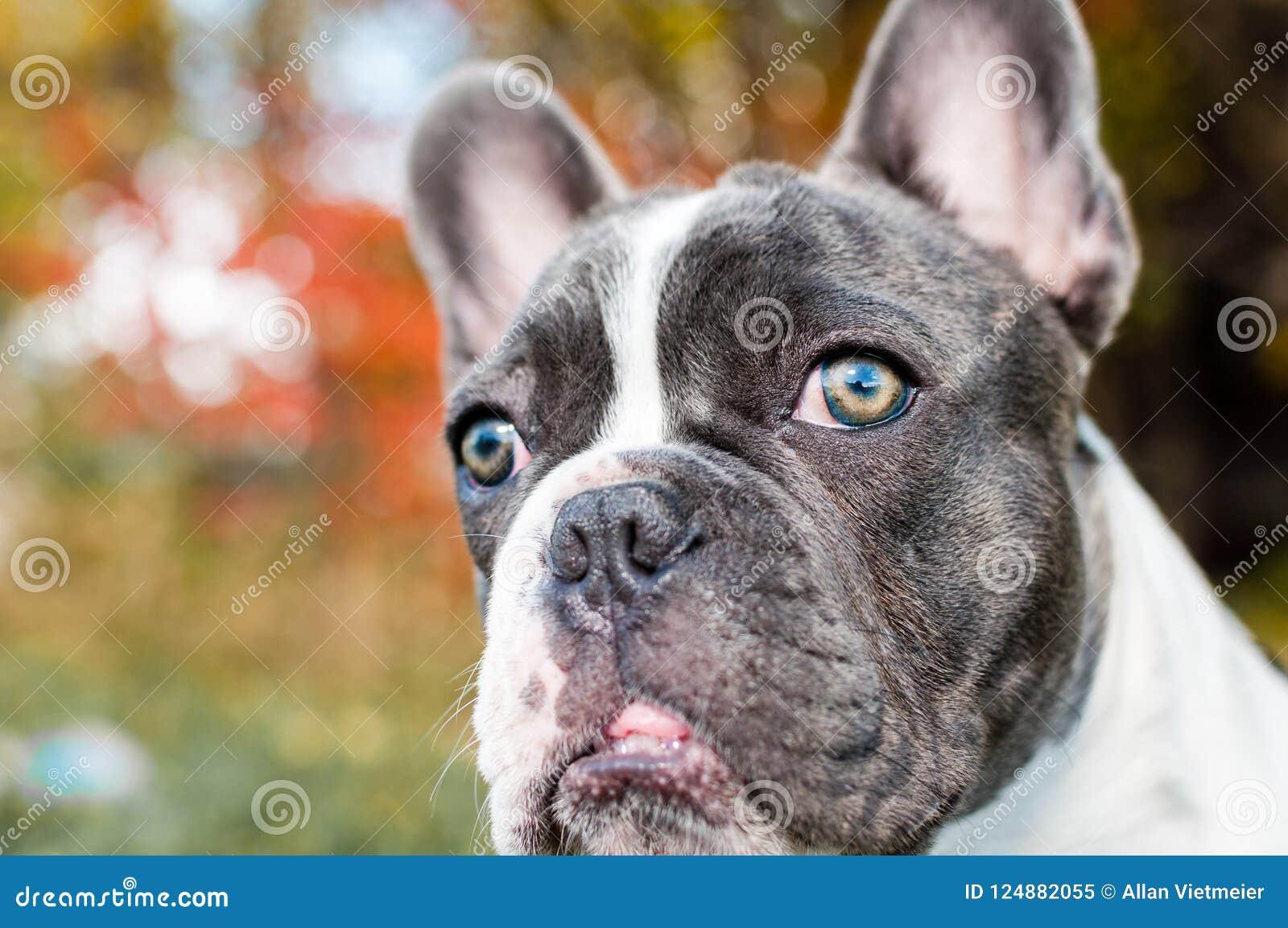 Giovane Bulldog Francese Grigio E Bianco Che Posa Per La Macchina