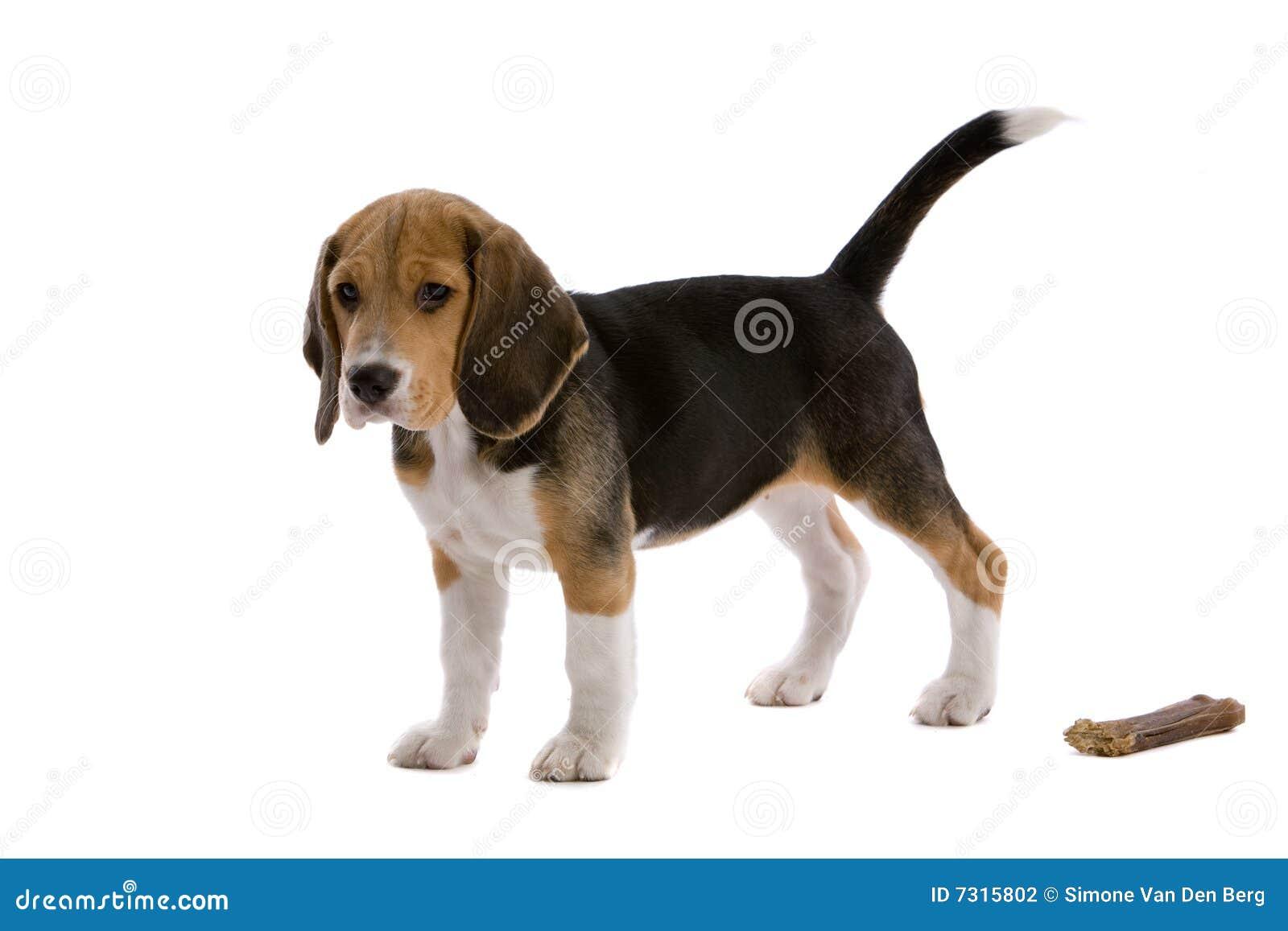 Giovane cane da lepre con l osso