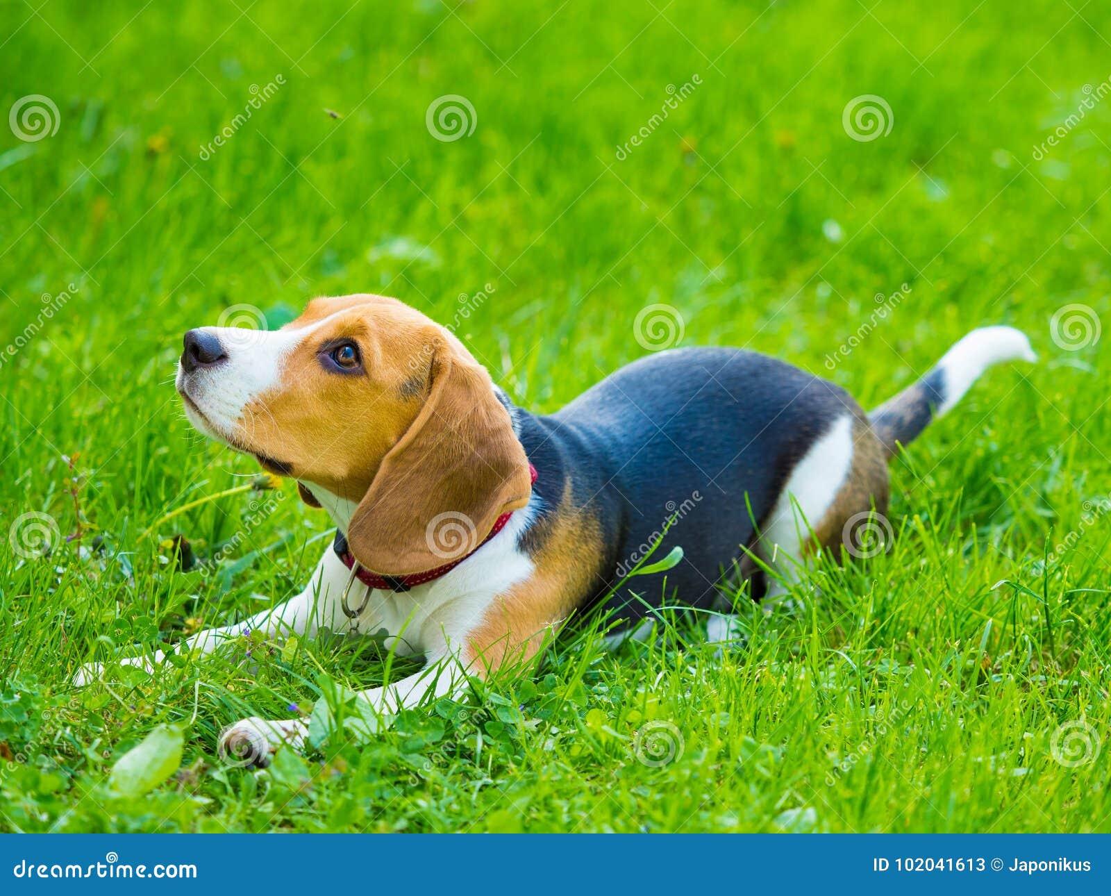 Giovane cane femminile del cane da lepre che si trova nell erba