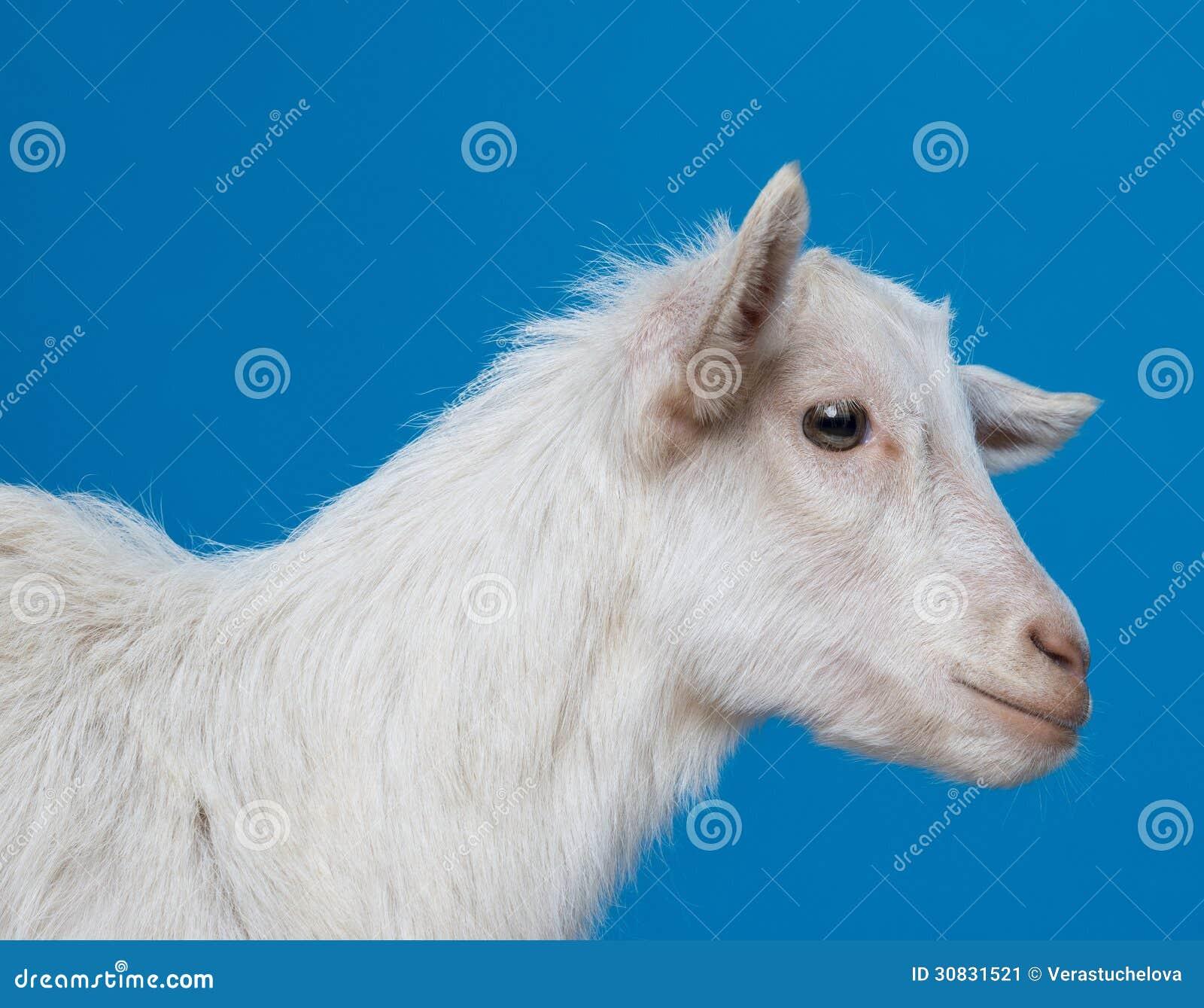 Giovane capra bianca