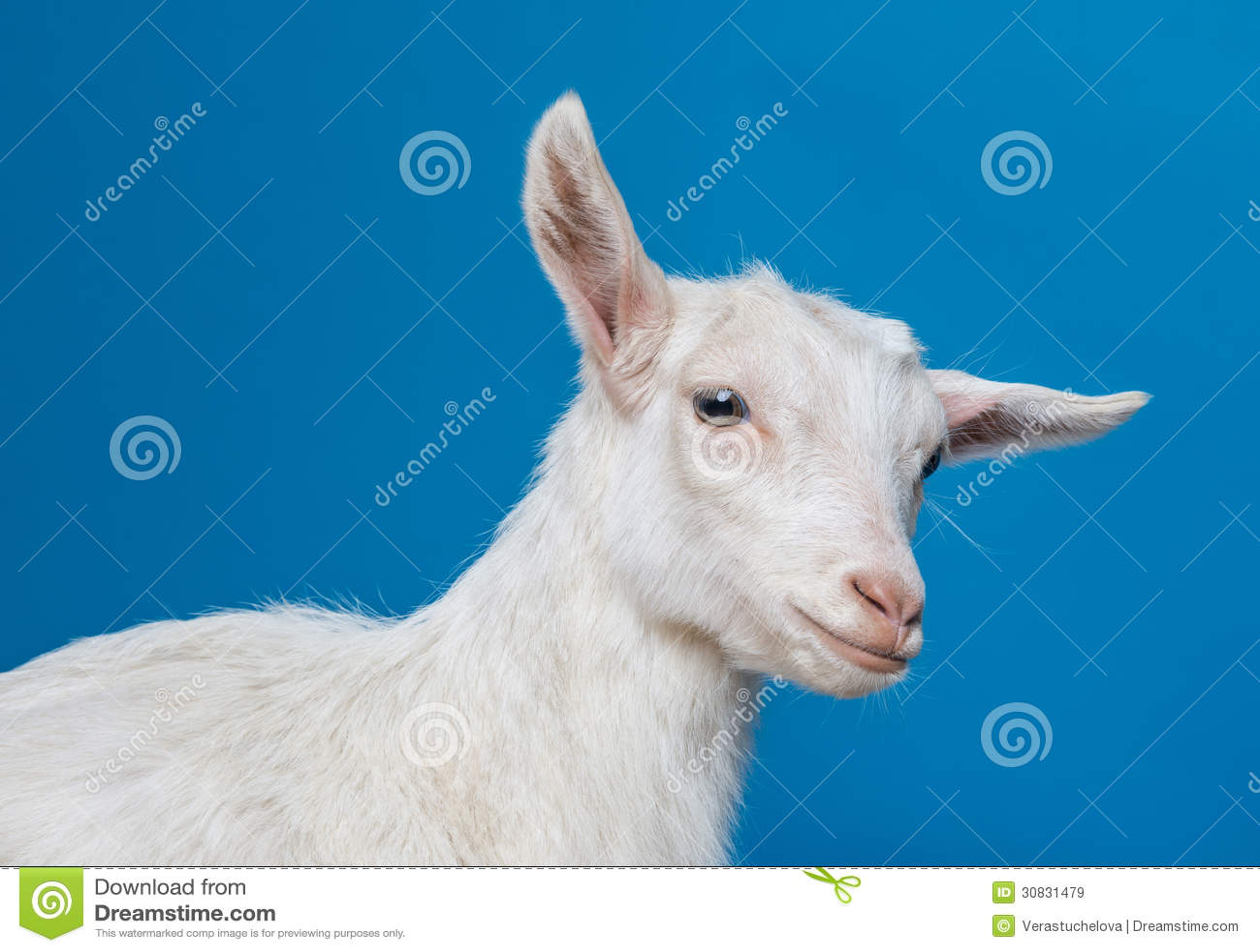 Giovane capra bianca felice