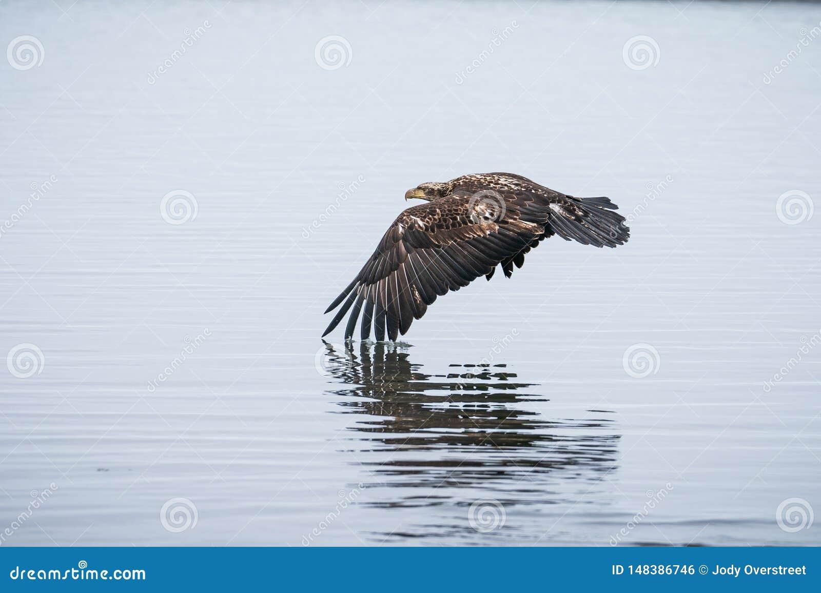 Giovane Eagle calvo in volo sopra acqua