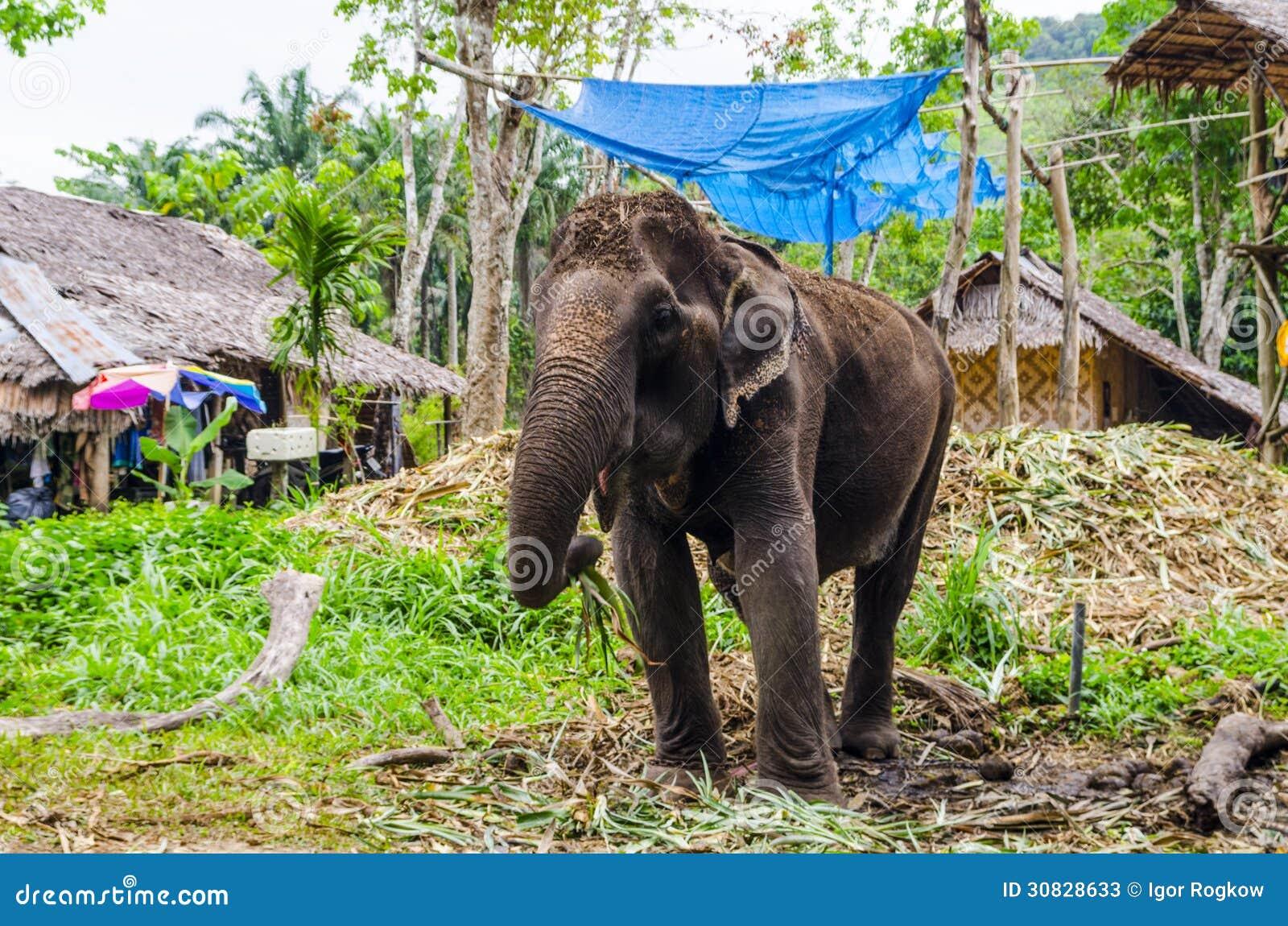 Giovane elefante che pasce in un villaggio tailandese