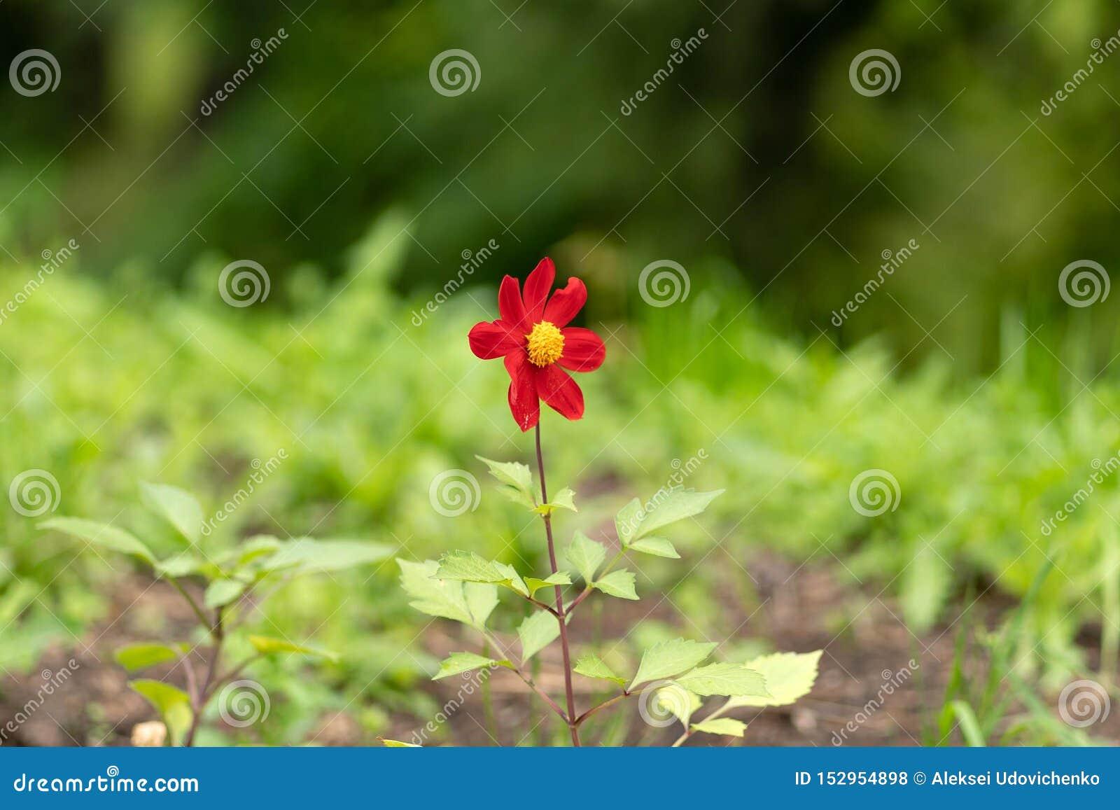 Giovane fiore rosso contro i precedenti della foresta